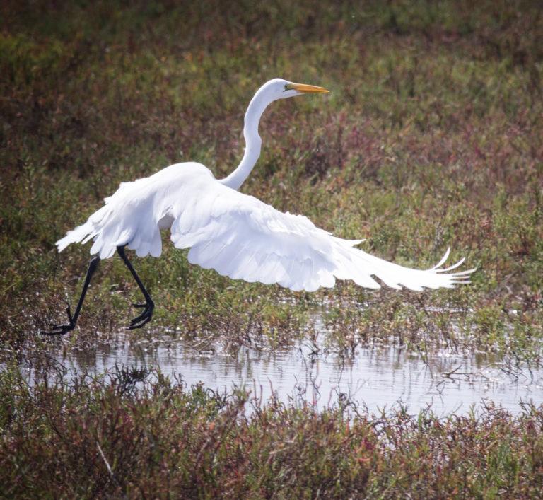 IreneReti.Egret. Save Our Shores