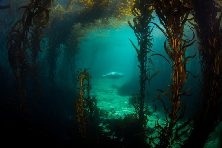 An underwater view of a pregnant harbor seal swimming close to the ocean bottom with giant kelp framing it.