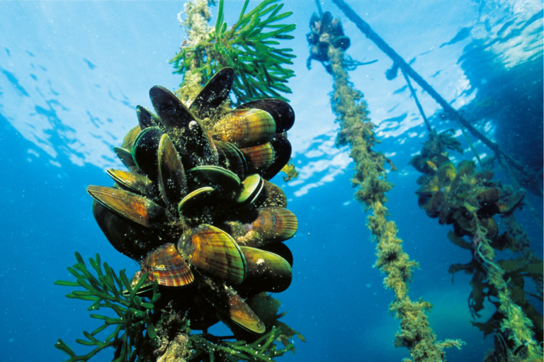 a dozen oysters and some plants cluster on a rope under water. Four more similar ropes are in the distance behind it.