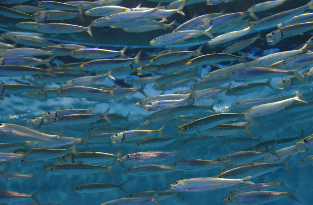 A school of anchovies swim together while feeding.